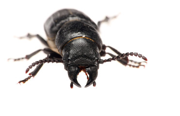 black beetle isolated on white background. Macro.