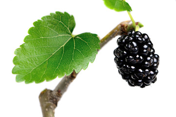 Black mulberries on a branch with leaves