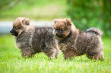 Two little pomeranian spitz puppies walking outdoors