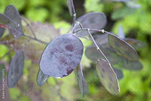 silberpfennig pflanze trockenblume stockfotos und lizenzfreie bilder auf bild. Black Bedroom Furniture Sets. Home Design Ideas