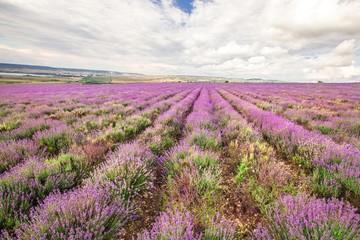 Lavender, Provence-Alpes-Cote d'Azur, Field.