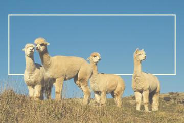 Alpaca Lama Shaggy Field Mountain Animals Concept
