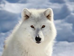 Photo sur Plexiglas Loup portrait du loup arctique