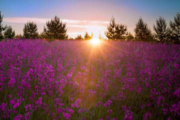 landscape with the blossoming  meadow at sunrise.blur scene