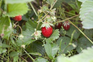 Fresh strawberries, strawberry bush, selective focus