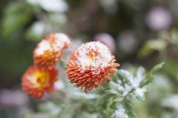 Orange chrysanthemum in the garden under the snow, selective focus