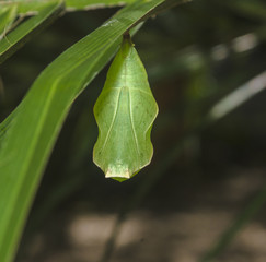 Green Cocoon Butterfly