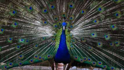 Amazing and beautiful peacock openning its wing