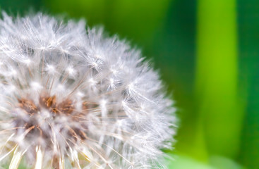 Canvas Prints Dandelions and water Dandelion flower with fluff, macro photo