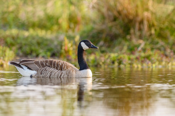 Canada Goose (Branta canadensis) swimming in a pond.