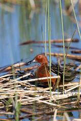 Male Cinnamon Teal in Alamosa National Wildlife Refuge in Colorado