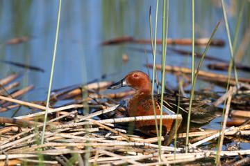 Cinnamon Teal in a marsh in Alamosa National Wildlife Refuge in Colorado