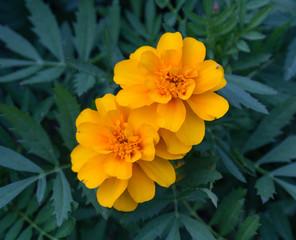 Marigold (Tagetes Erecta) flower. Flowers and gardens