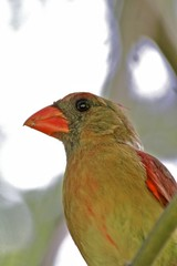 Female Cardenal on a tree branch