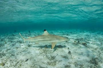 Blacktip Reef Shark in Lagoon