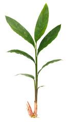 Fresh galangal plant on white