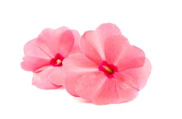 Obraz balsam flower - fototapety do salonu