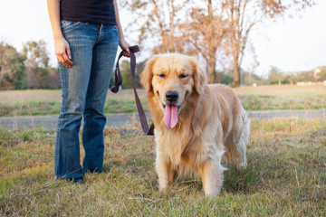 Golden Retriever walk on long lead at the park