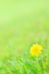 草原に咲くタンポポ