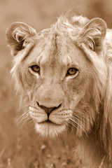 A male lion portrait. Golden sunlight ignite his intense eyes. South Africa