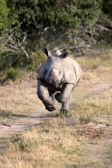 A white rhino / rhinoceros calf on the charge and having a run in this lovely portrait image. South Africa.