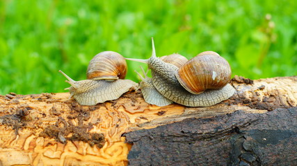 Three grape snails playing on the log