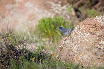 Pinyon Jay in the Rocky Mountains of Colorado