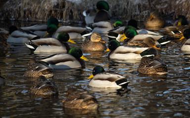 Ducks #4