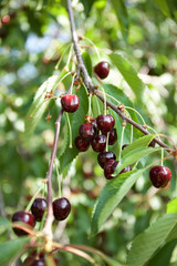 Cherries on cherry tree at summer