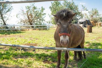 Il cavallo pony nel recinto