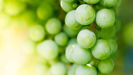 Green grapes macro photo, nice blurred background effect.