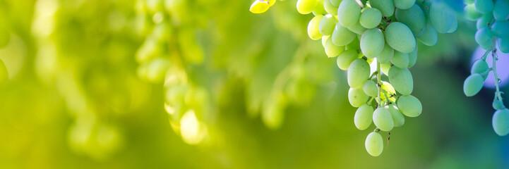 Green grapes macro photo, nice blurred background effect. Fototapete