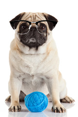 a pug dog isolated on a white background . Dog with glasses