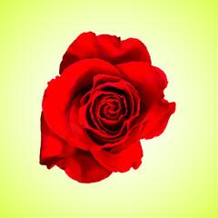 Foto op Canvas Roses Red rose flower