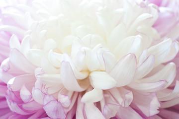 Flower petals closeup