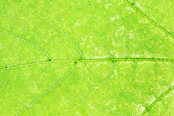 fragment of green maple leaf close up