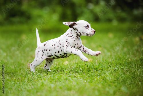 Dane or Dalmatian