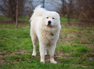 Maremma or Abruzzese patrol dog sitting on the grass