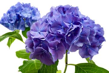 Wall Mural - Purple hydrangea flower