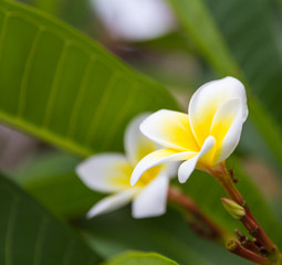 White frangipani flowers. tropical flowers the beautiful.