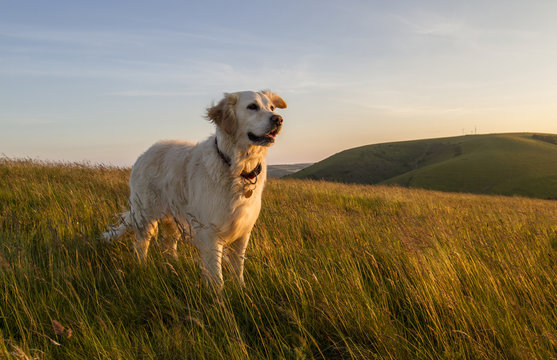 dog happy in field at sunset