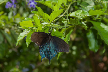 Pipevine Swallowtail butterfly in search of nectar