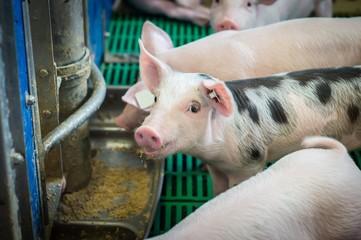 Schweinehaltung, fressende Ferkel am Futtertrog