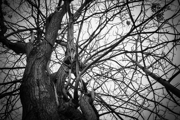 Wall Mural - Black and  white old tree