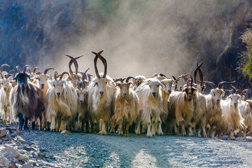 A herd of hundreds of mountain goats being driven down a mountain road with sunlight streaming through their cloud of dust at sunset in the Tusheti National Park, northeastern Georgia.