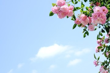 ピンク色のバラ  青空背景