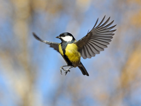 Funny flying Great Tit