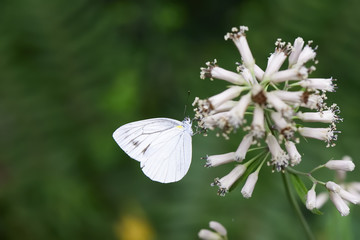 closeup of a butterfly on white flowers