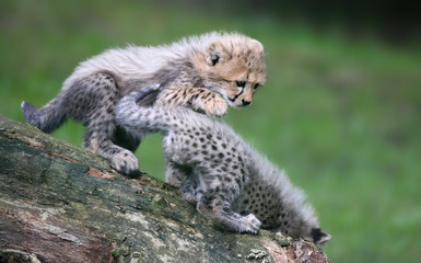 Close-up view of a playing Cheetah cubs 02