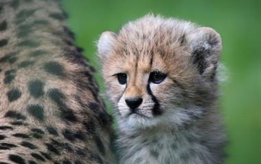 Close-up view of a Cheetah cub 02